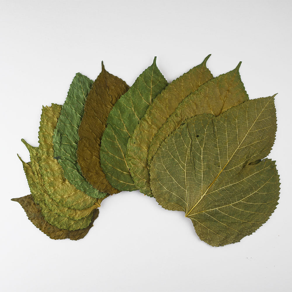 Mulberry Leaves Aquarium Leaves