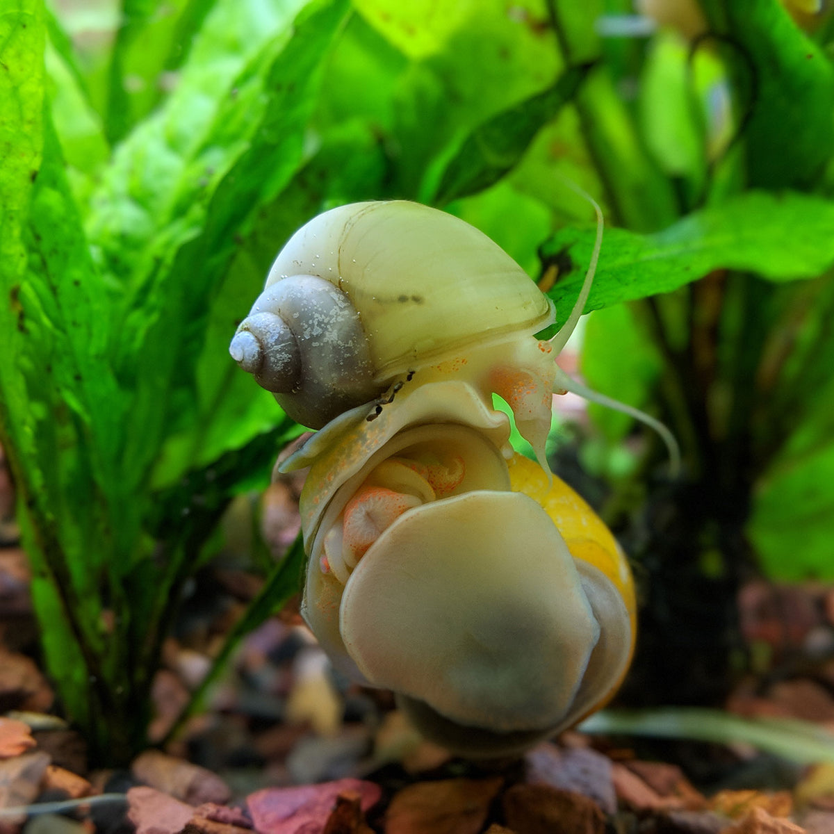 Assorted Mystery Snails 5 Pack Aquarium Snails