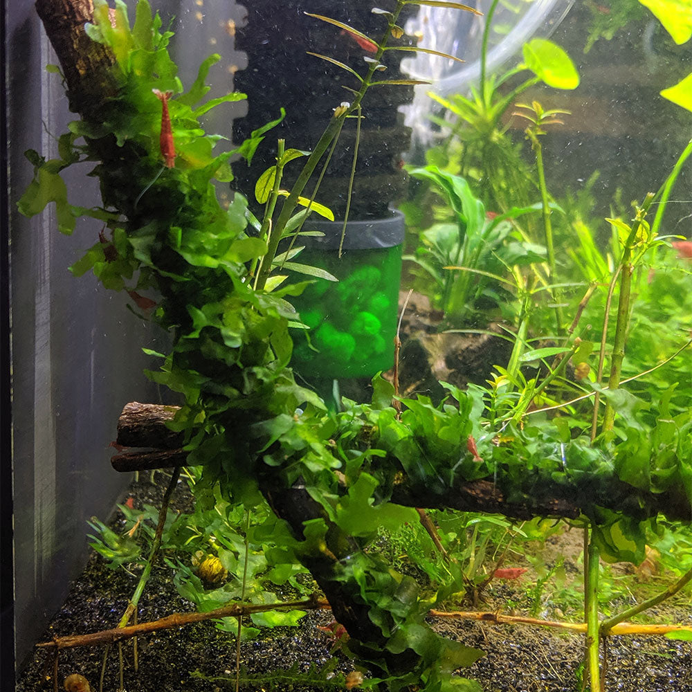 Subwassertang on Catappa Bark Aquarium Moss