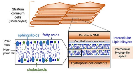 cell membrane of the stratum corneum - cell membrane of keratinocytes