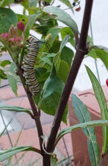 monarch caterpillar crawling on a milkweed stem
