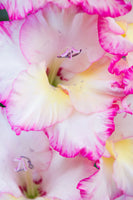 white gladiolus with bright pink edge, macro gladiolus, yellow throat white glad with pink edge