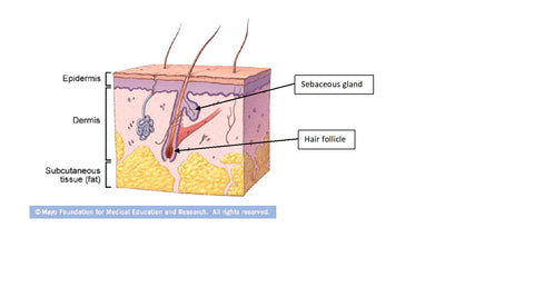 layers of the skin - epidermis, dermis, subcutaneous fat with transepidermal appendages