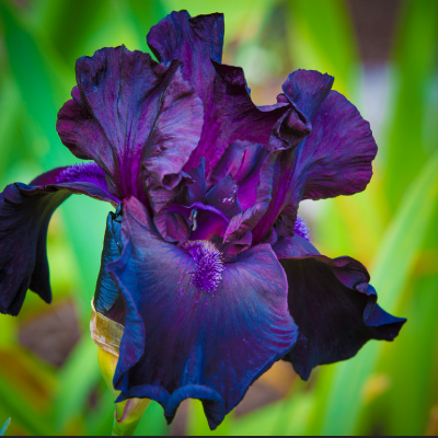 Bearded Iris 'All Night Long'
