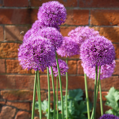 Giant Allium 'Ambassador'
