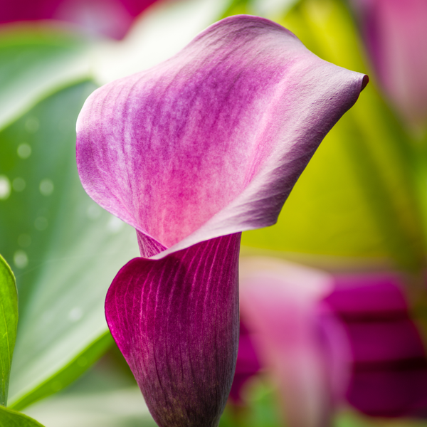 Purple Calla Anneka