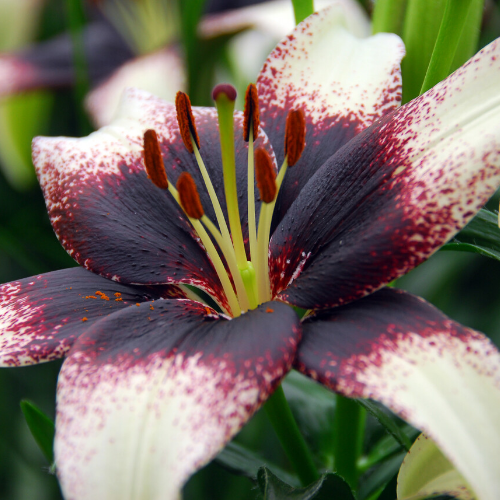 Lilium Asiatic 'Black Eye' (Asiatic Lily)