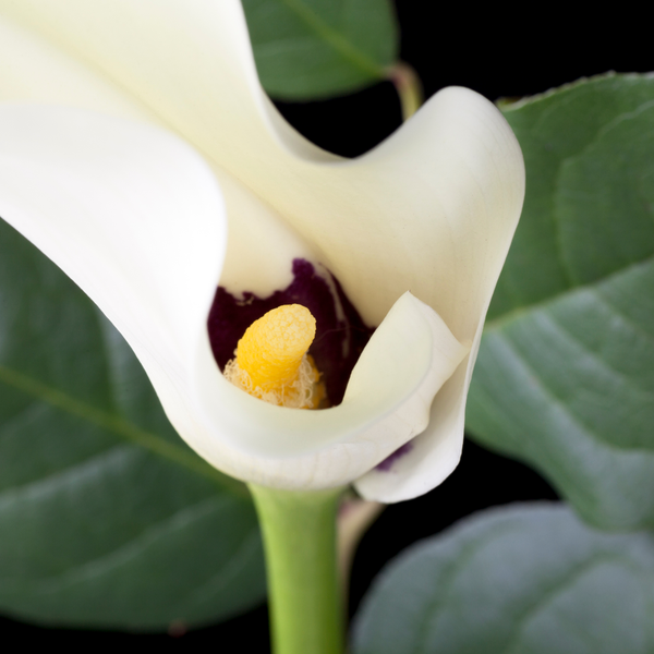 Black-Eyed Beauty Calla White Calla