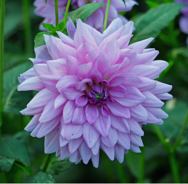 Blue Boy Dahlia - Dinnerplate Dahlia