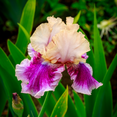Bearded Iris 'Cherry Blossom Song' ,German Iris