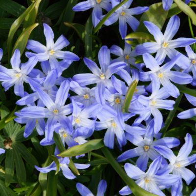 Glory of the Snow - Chionodoxa 'Luciliae' c1878