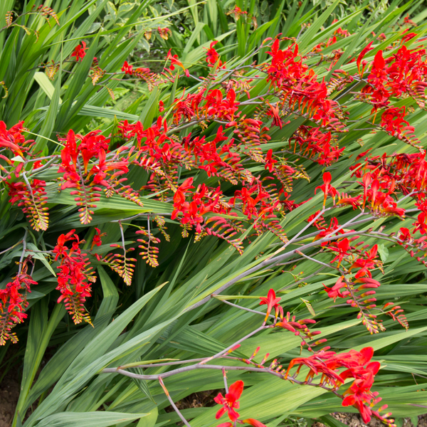Red Montbretia - Crocosmia 'Lucifer'