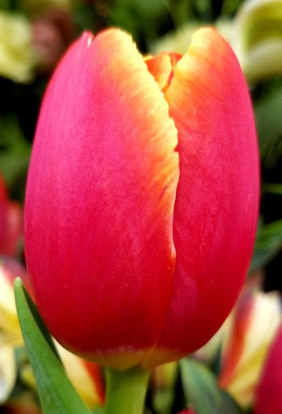 Darwin Hybrid 'World's Favorite' Tulip (Mid to Late)