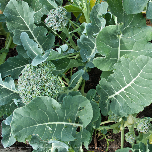 Organic De Cicco Broccoli, pre 1890 Heirloom