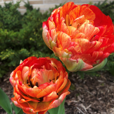 Double Gudoshnik Tulip (Double Late Tulip)