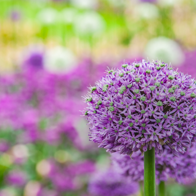 Giant Allium 'Gladiator'