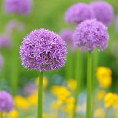 Giant Allium 'Globemaster'
