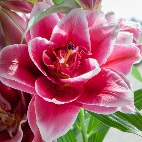 Roselily 'Isabella' (Double Oriental Lily, Lilium)