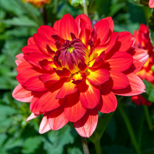 Manhattan Island Dinnerplate Dahlia
