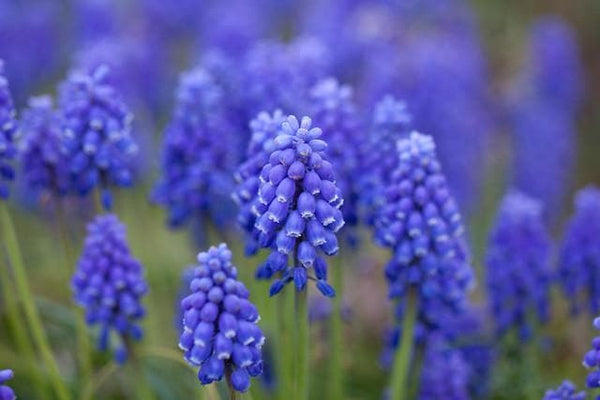 Grape Hyacinth 'Muscari Armeniacum'