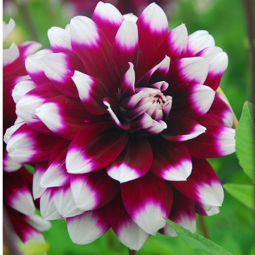 'Mystery Day' Dahlia (Decorative or Semi-Dinnerplate)
