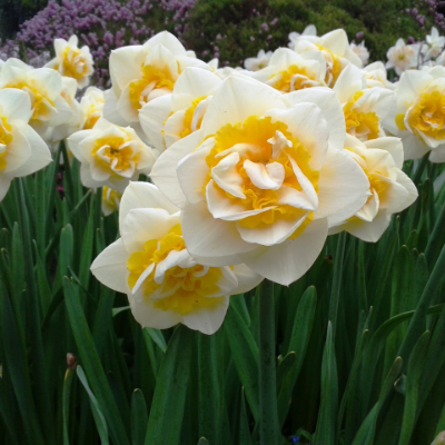 Narcissi Double 'Cheerfulness' Daffodil (Midseason Flowering)