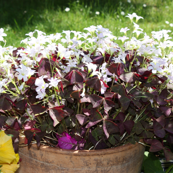 Oxalis 'Triangularis'