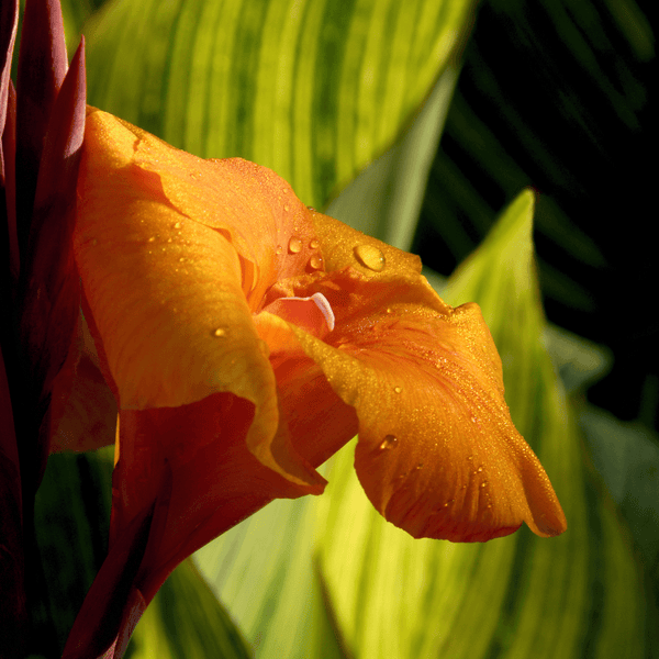 Pretoria Tall Canna Varigated Leaf