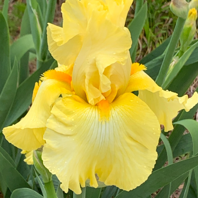 Bearded Iris 'Harvest of Memories' (Rebloomer)