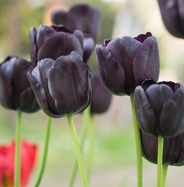 Queen of Night Tulip 1936 Heirloom Bulbs (Single Late Tulip)