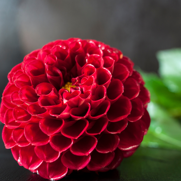 'Red Cap' Dahlia (Ball)