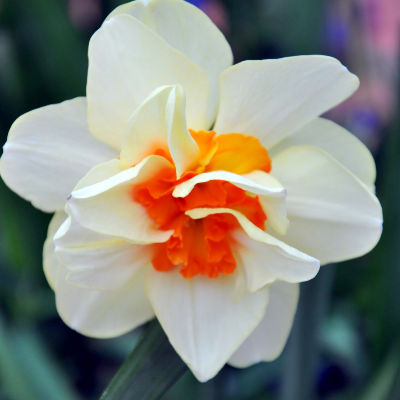 Narcissi Double 'Replete' Daffodil (Early to Mid)
