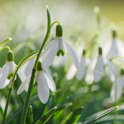 Snowdrops - Galanthus Single 'Woronowii'  1810 Heirloom