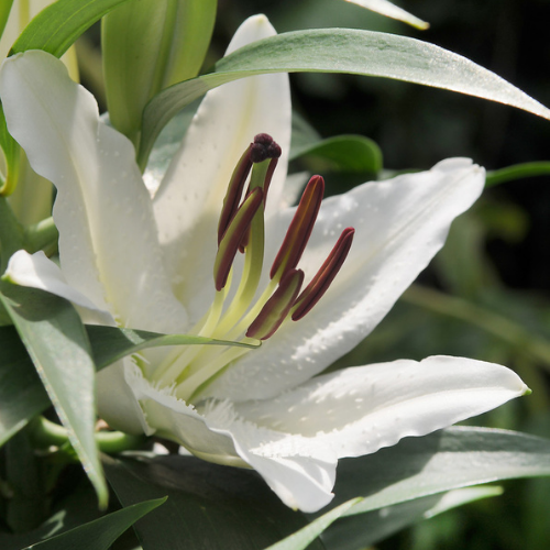Lilium Asiatic 'Tiny Crystal' (Asiatic Lily)