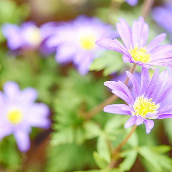 Anemone Blanda Blue Shades - Grecian Windflower