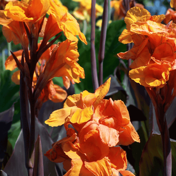 Canna Tall brown-leaf 'Wyoming' Orange Canna