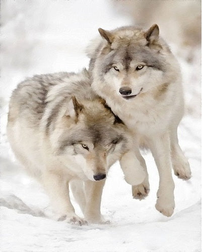 Wolves in Snow 16