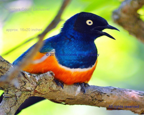 * PC EXCLUSIVE! * MALE STARLING *