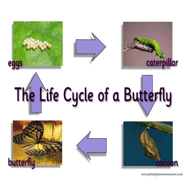 Life Cycle of a Butterfly Mat:Primary Classroom Resources