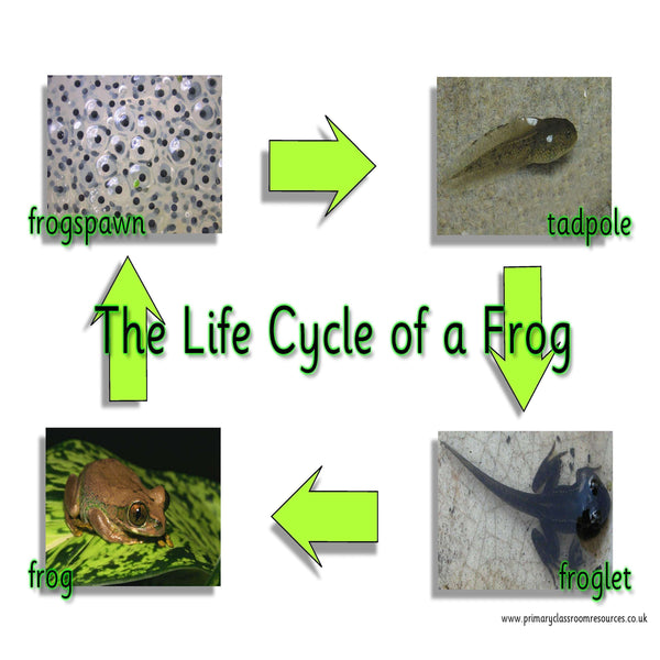 Life Cycle of a Frog Mat:Primary Classroom Resources