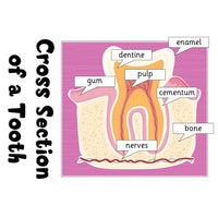Cross Section of a Tooth Poster:Primary Classroom Resources