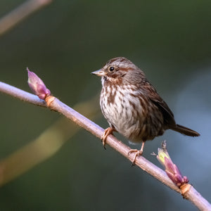 Song Sparrows