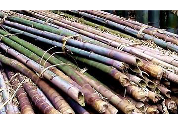 bamboo canes ready for use