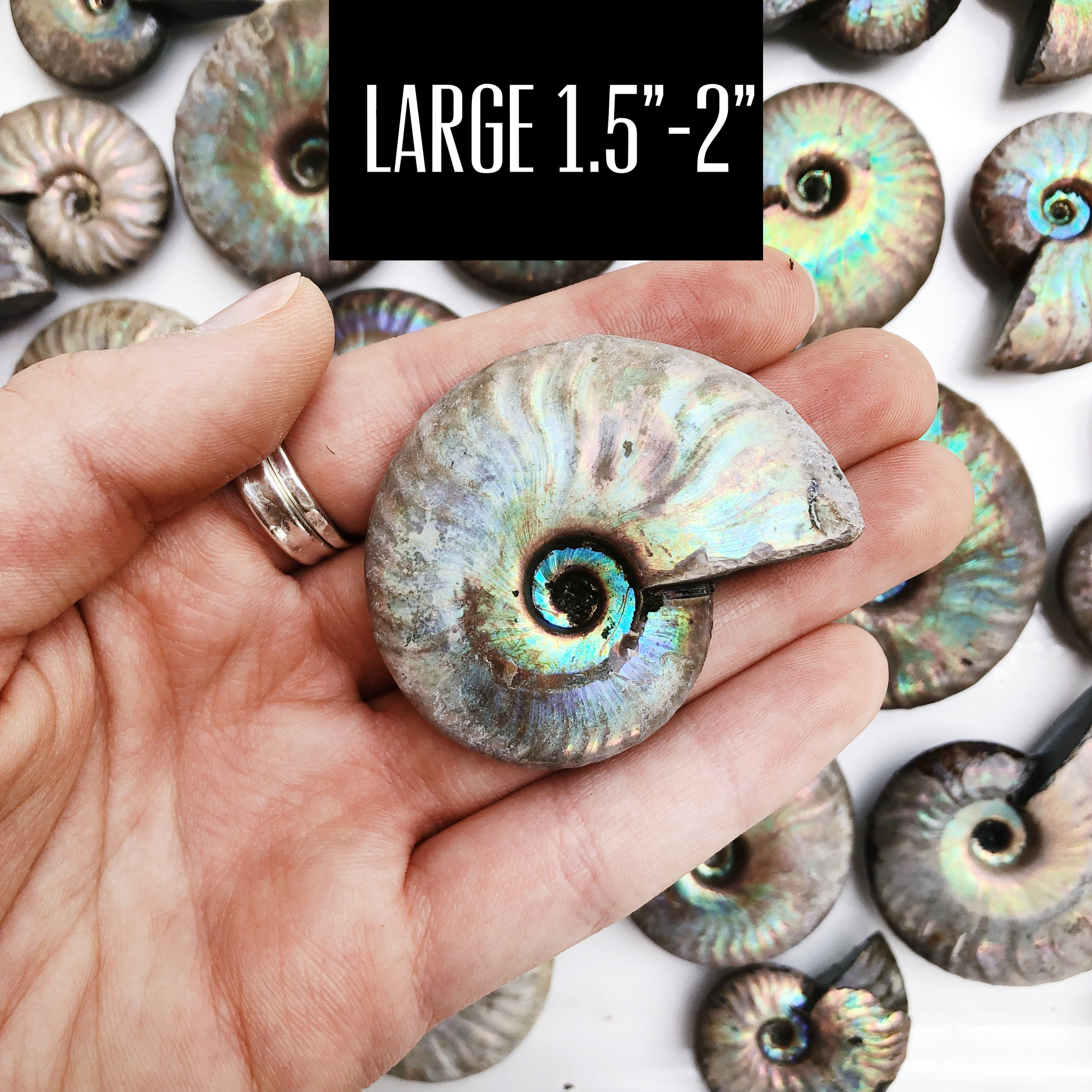 Iridescent Ammonite Fossils - Choose Your Size