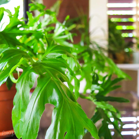 Photo of one of Rachel's indoor plants which lives in her art studio in Cairns, Queensland, Australia.