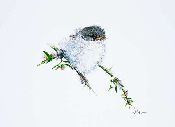 Superb Fairy Wren artwork buy now fine art print