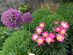 Allium and Peonies within Box Balls