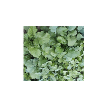 Load image into Gallery viewer, CARNAGE BRASSICAS