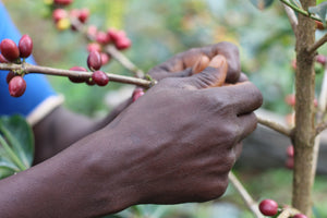 Kenya - Kirigu AA - Cherry, Black Currant, Plums, Cola