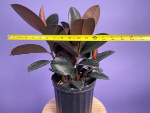 Rubber Plant (Burgundy) - 8""